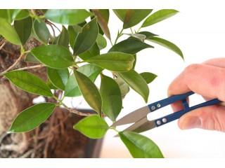 Обрезка и формирование комнатных растений