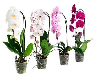 Лучшие орхидеи в Киеве