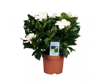 Гардения / Gardenia