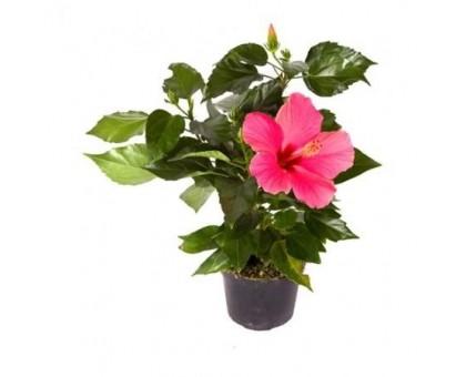 Гибискус / Hibiscus, Китайская роза