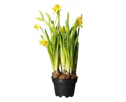 Нарцисс / Narcissus