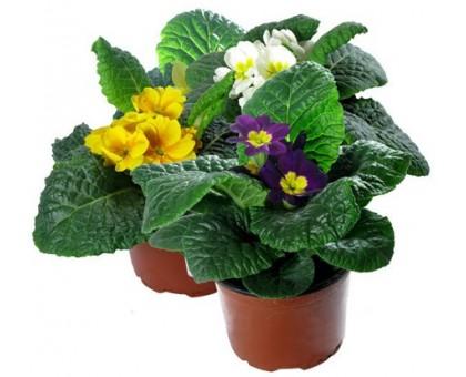 Примула / Primula, первоцвет