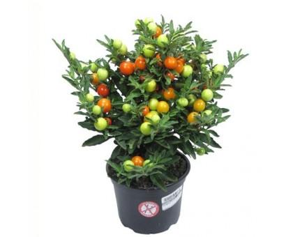 Паслен, Соланум / Solanum