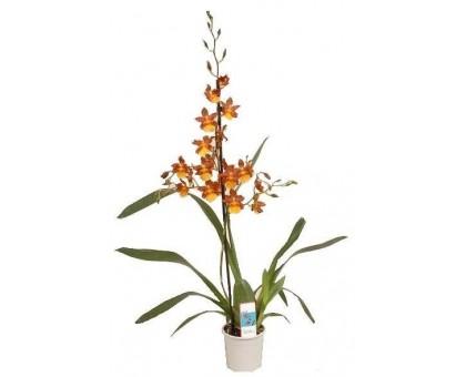 Орхидея Камбрия / Cambria