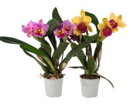 Орхидея Каттлея / Cattleya