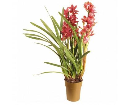 Орхидея Цимбидиум / Cymbidium