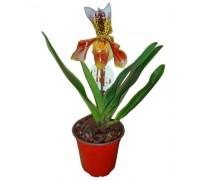 Орхидея Пафилопедилум