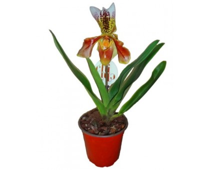 Орхидея Пафиопедилум / Paphiopedilum