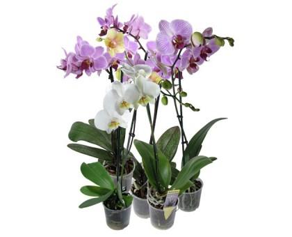 Орхидея Фаленопсис / Phalaenopsis
