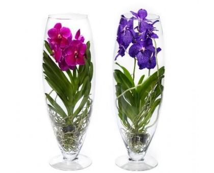 Орхидея Ванда / Vanda