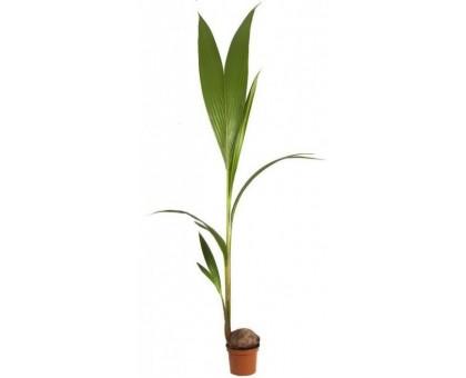 Кокос, Кокосовая пальма / Cocos nucifera