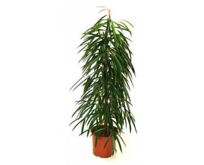 Фикус Али / Ficus Ali binnendijkii