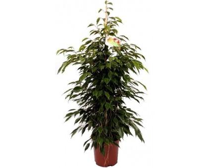 Фикус Бенджамина Anastasia / Ficus benjamina Anastasia