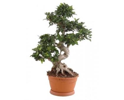 Фикус микрокарпа Гинсенг большой / Ficus microcarpa Ginseng