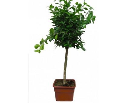 Фикус Мокламе / Ficus microcarpa Moclame