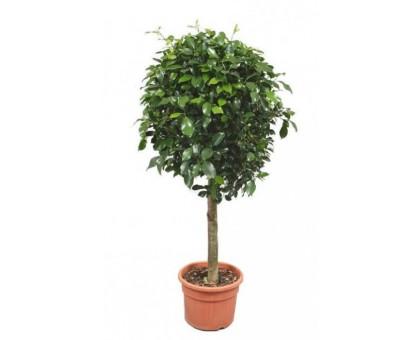 Фикус Блестящий штамб / Ficus nitida Thunberg