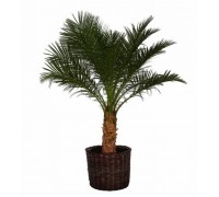 Финик, Финиковая пальма