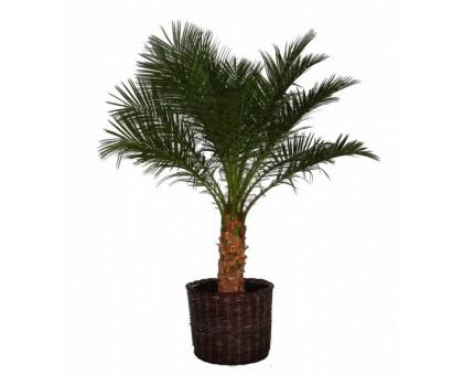 Финик / Finik, Финиковая пальма