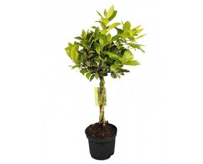 Лавр большой / Laurus. Лавровое дерево