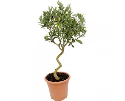 Олива / Olea europaea, Маслина
