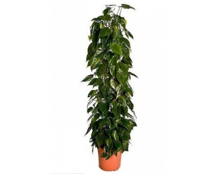 Филодендрон scandens / Philodendron scandens