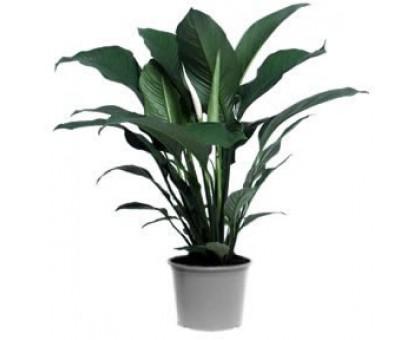 Спатифиллум большой / Spathiphyllum