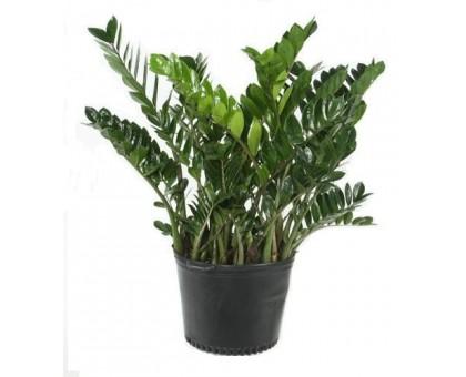 Замиокулькас замиелистный / Zamioculcas zamiifolia