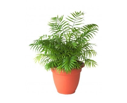 Хамедорея / Chamaedorea, Бамбуковая пальма