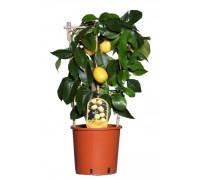 Лимон, Лимонное дерево