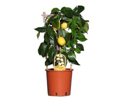 Лимон / Citrus limon, Лимонное дерево