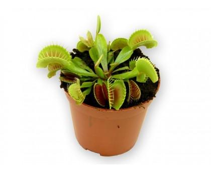 Дионея / Dionaea, Венерина мухоловка