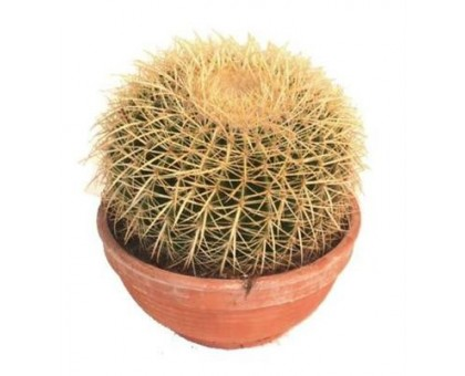 Эхинокактус / Echinocactus