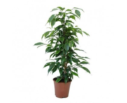 Фикус Бенджамина / Ficus benjamina