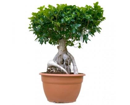 Фикус Микрокарпа Гинсенг / Ficus microcarpa Ginseng