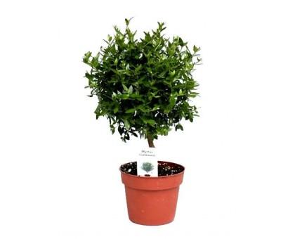 Мирт / Myrtus, Миртовое дерево