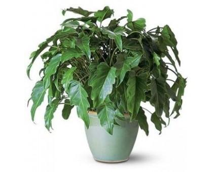 Филодендрон schott / Philodendron schott