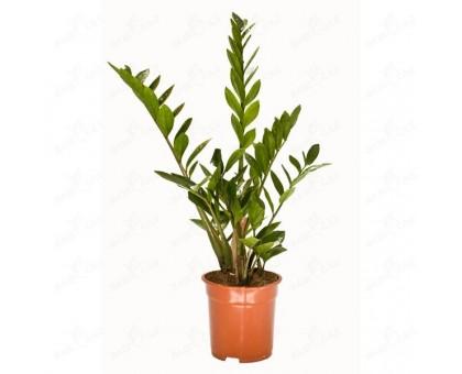 Замиокулькас / Zamioculcas, Долларовое дерево